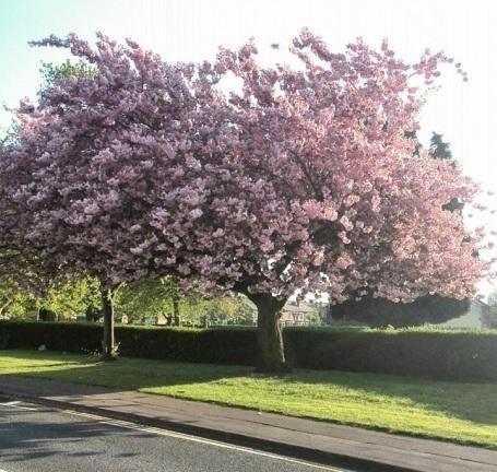 April Cherry Blossom